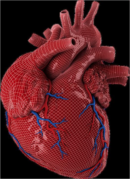 heart model Tavares, FL